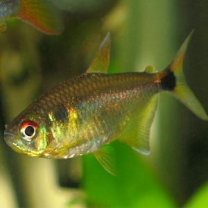 Head and Tail Light Tetra