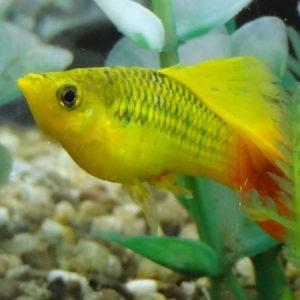 Hifin Rainbow Variatus Platy m/l