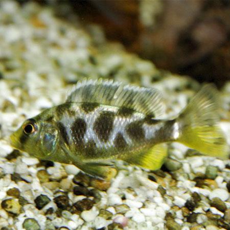 Livingstones Cichlid 4/6cm