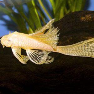Albino Bristlenose Pleco Long Fin (Small)