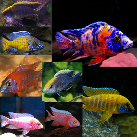 6 x Assorted Peacock Malawi Cichlids 4/6cm