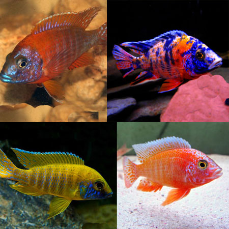 Tropical Tank Filler Malawi Pack (Pack 21)
