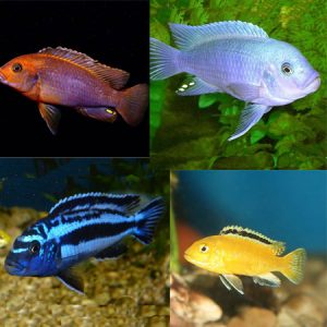10x Assorted 4/6cm Malawi PACK 2