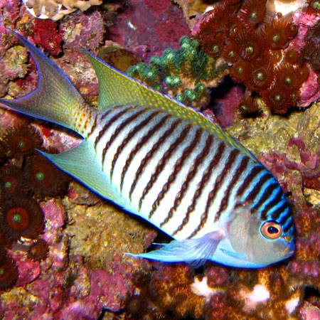 Swallowtail Angelfish-MALE PRE-ORDER