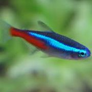 Neon Tetra (Small/Medium)