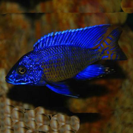 Nagara Peacock 4-6cm
