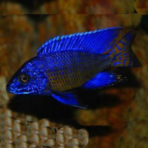 Nagara Peacock 7/8cm