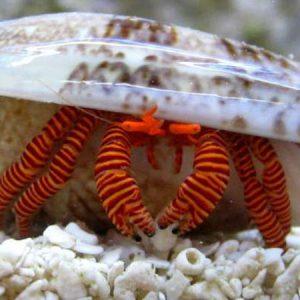 Orange Hawaiian Crab