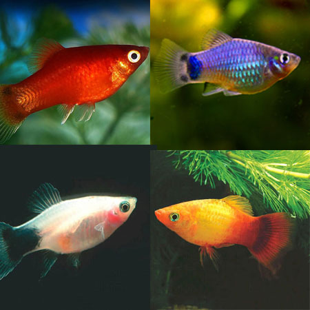 10 x Assorted Platy