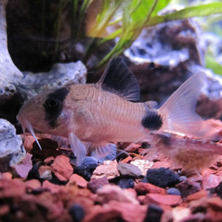 SPECIAL OFFER! 6 x Panda Cory