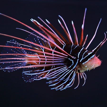 Radiata Lionfish Medium