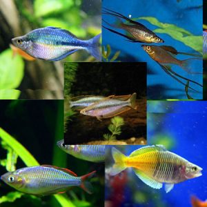 10 x Assorted Rainbowfish