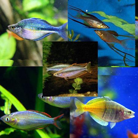 10 x Assorted Rainbowfish