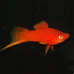 Red Swordtail
