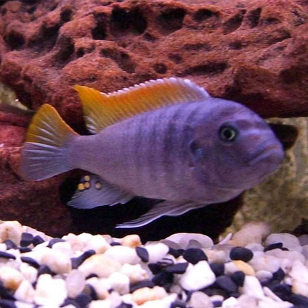 Red Top Ice Blue Cichlid 4/6cm