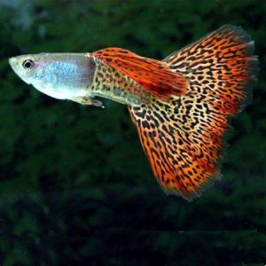 Red Snakeskin Male Guppy