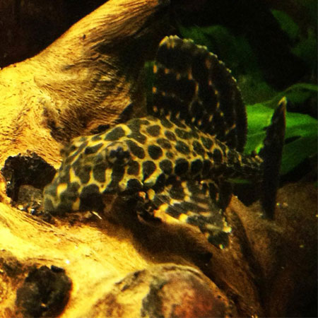Spotted Pleco 10cm