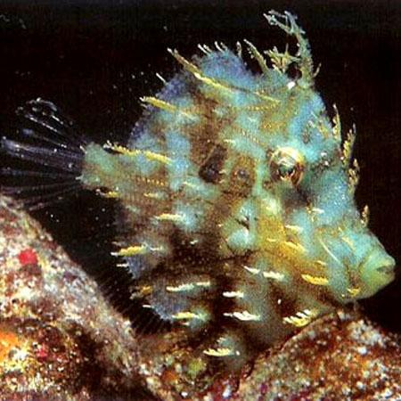 Tassle Filefish lge PRE-ORDER