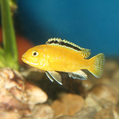 Electric Yellow Cichlid 4/6cm