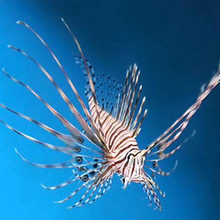 Volitans Lionfish Large