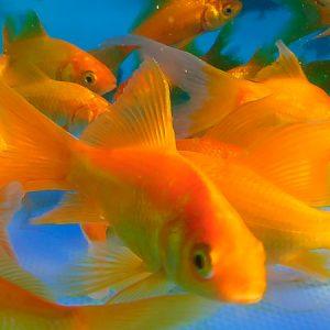 Yellow Goldfish 3/4''