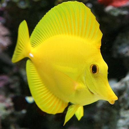 Yellow Tang M