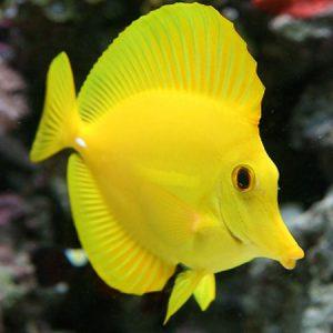 Yellow Tang Small