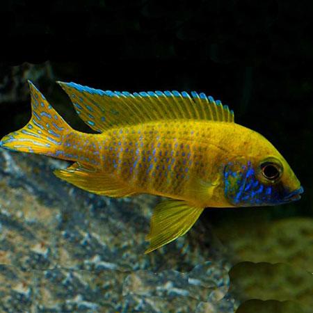 Yellow Peacock 4/6cm
