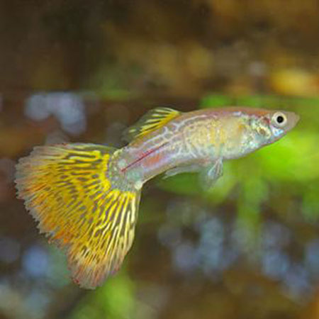 Yellow/Yellow Snakeskin Male Guppy