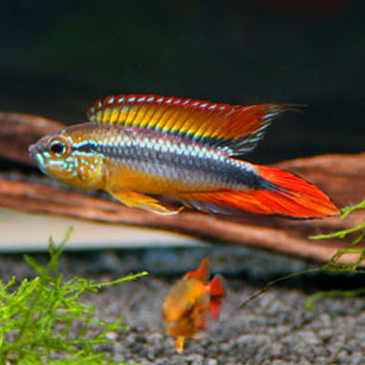 Double Full Red Agassizii PAIR