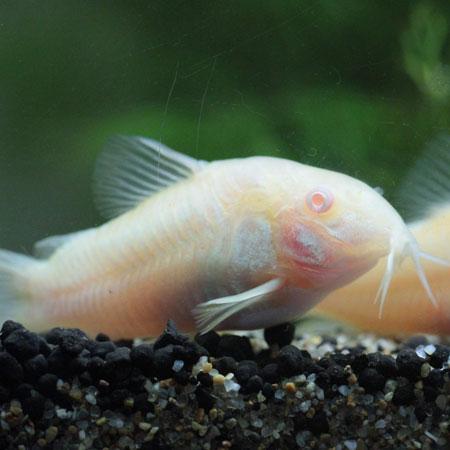 Albino Cory Cat