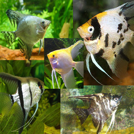 Assorted Angelfish Sml/Med
