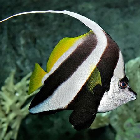 Bannerfish MEDIUM PRE ORDER