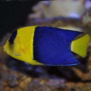 Bicolor Dwarf Angelfish