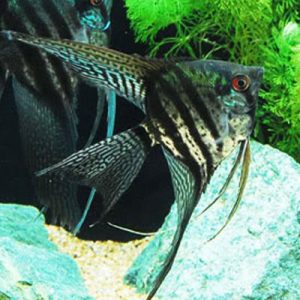 Black Lace Angelfish Sml/Med