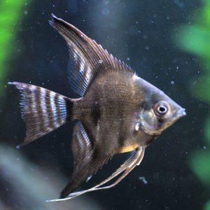 Black Angelfish small med
