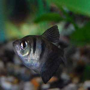Black Widow Tetra