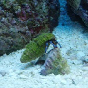 Dwarf Blue Leg Hermit Crab