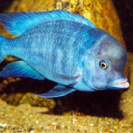 Blue Dolphin Cichlid 7/8cm