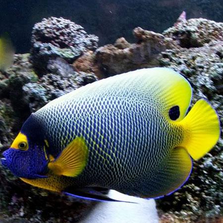 Blueface Angelfish Adult Med PRE-ORDER