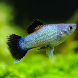 Blue Wagtail Platy