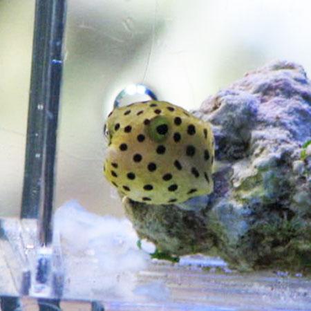 Yellow Boxfish small