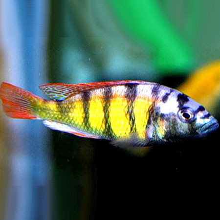 Cherry Red Haplochromis sm 5/6cm