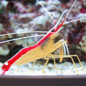 Cleaner Shrimp Medium
