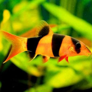 SPECIAL OFFER! 4 x Clown Loach 4cm