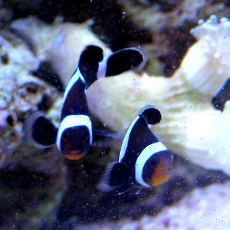 Black and White Common Clownfish 3-4cm