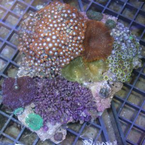 Coral Garden M/L