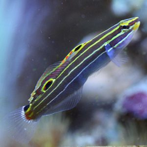 Court Jester Goby-Gold- PRE-ORDER