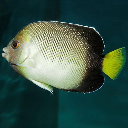 Cream Angelfish PRE-ORDER