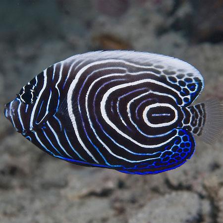 Emperor Angelfish Juvenile PRE-ORDER